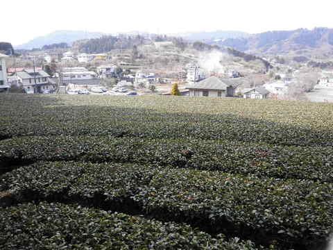 茶畑47.JPG