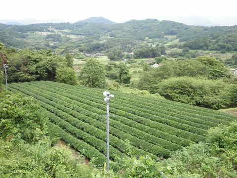 茶畑を望む38.JPG