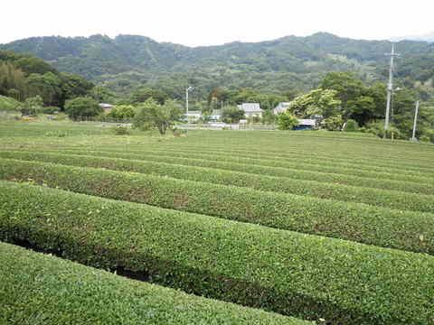 茶畑を望む40.JPG