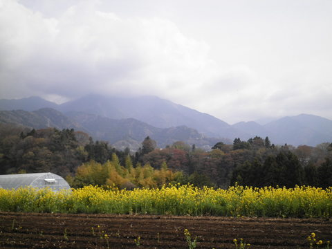 菜の花43.JPG