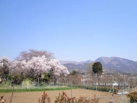豆桜と三の塔13.JPG