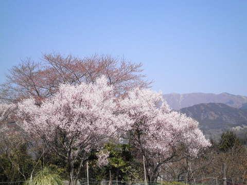 豆桜と丹沢14.JPG