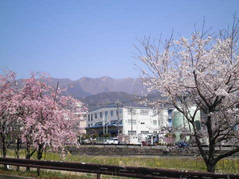 雪割り桜32.JPG