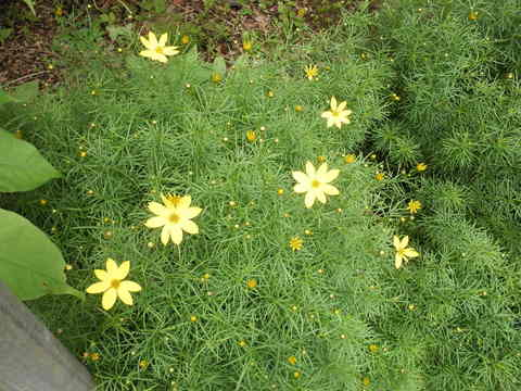 黄色の花50.JPG